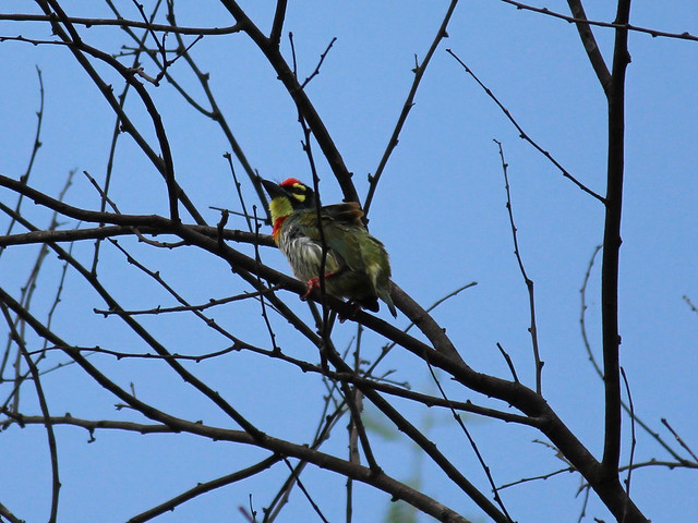 Coppersmith Barbet2