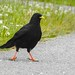 Small photo of Alpkaja / Alpine Chough