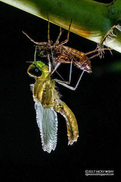 Dragonfly moulting (Anisoptera) - DSC_8573