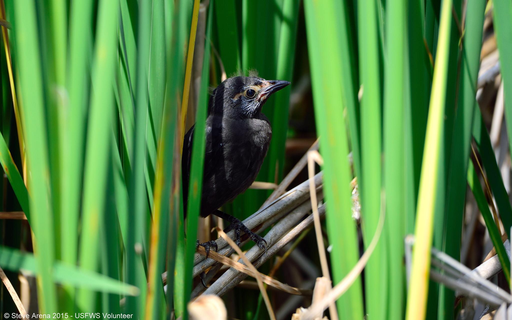 fledgling grackle - photo #23