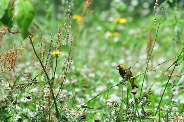 カワラヒワ Oriental Greenfinch