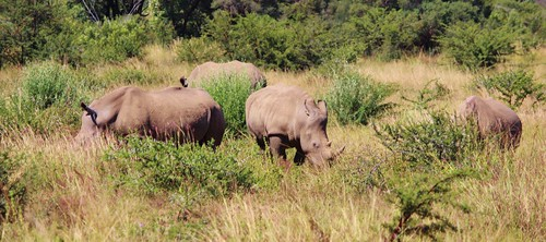 A group of Rhino
