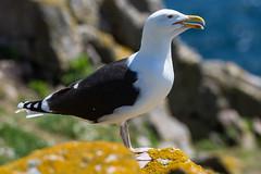 Gull_DSC_2068