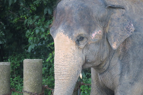 Asiatic Elephant 03