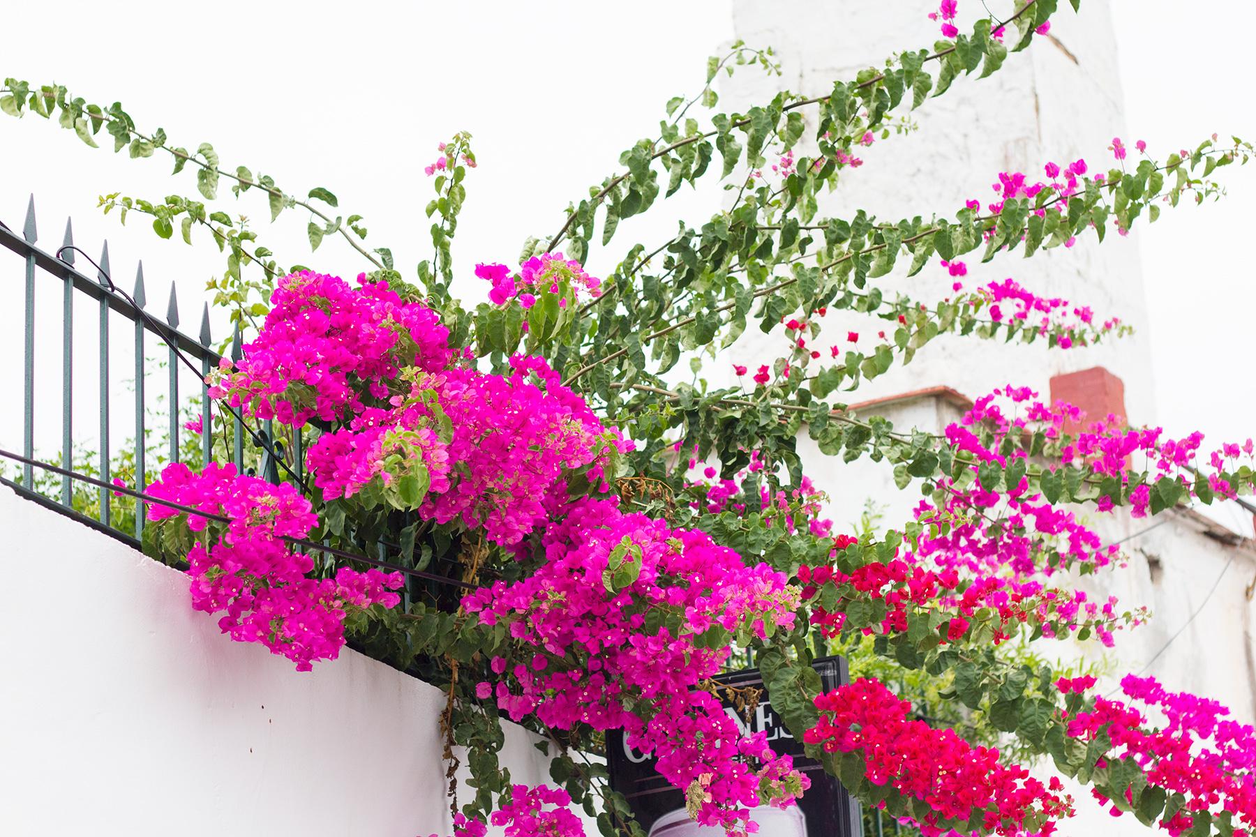 spanish-pink-flowers