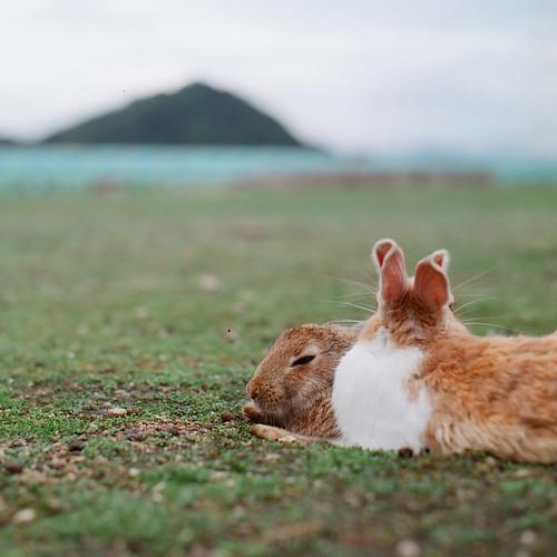 寝そべるウサギ