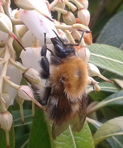 What I think is a Carder bee on a Pieris