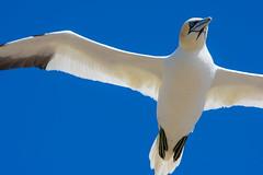 Gannet flying over DSC_1488