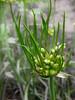 Allium canadense (DSCN6190)