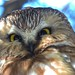 Saw Whet Owl by Sara Turner Photography