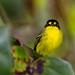 Yellow-lored Tody-Flycatcher by Thelma Gatuzzo