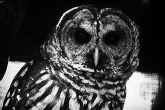 Suspiscious Owl