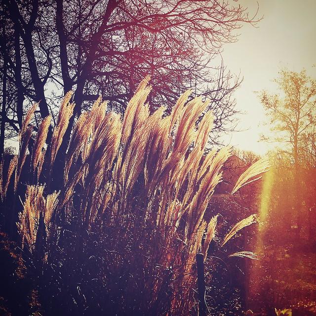 Grass and sun #winterlight #sunlight #sunset #nature #naturelover #grass #fair #color #wintersun