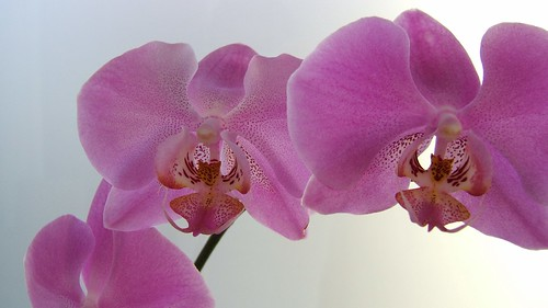 Widescreen Orchid