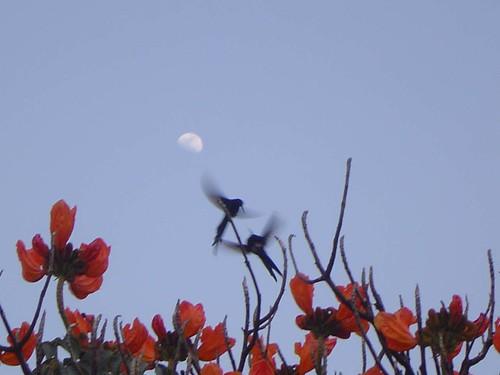 Beija-flores tesoura (Eupetomena macroura) ao luar de Brasília 089
