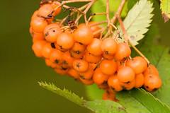 shrub(0.0), flower(0.0), cloudberry(0.0), hippophae(1.0), macro photography(1.0), flora(1.0), produce(1.0), fruit(1.0), food(1.0), rowan(1.0),