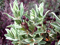 produce(0.0), evergreen(1.0), shrub(1.0), flower(1.0), plant(1.0), wildflower(1.0), flora(1.0), common sage(1.0),
