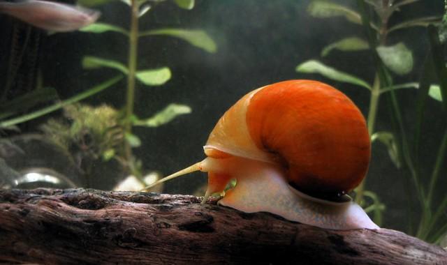 Slug the Golden Apple Snail 1 of 2 Flickr - Photo Sharing!