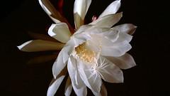 flower, yellow, white, macro photography, flora, close-up, epiphyllum oxypetalum, petal,