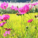 Japanese pampas grass, rice and cosmos by maggot