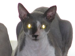 burmilla(0.0), european shorthair(0.0), oriental shorthair(0.0), javanese(0.0), chartreux(0.0), tonkinese(0.0), egyptian mau(0.0), korat(0.0), burmese(0.0), manx(0.0), russian blue(0.0), domestic short-haired cat(0.0), animal(1.0), cornish rex(1.0), peterbald(1.0), small to medium-sized cats(1.0), pet(1.0), mammal(1.0), donskoy(1.0), cat(1.0), whiskers(1.0), devon rex(1.0),