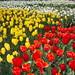 Tulipa by Jon Key
