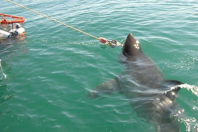 Fattest Shark The Fattest Sharks i Sa…