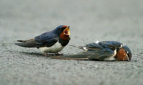 2swallows-2