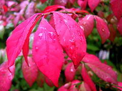 wet euonymous leaves