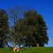 Cow Kuh Kühe Cows Bayern Bavaria Green Grass Blue Sky