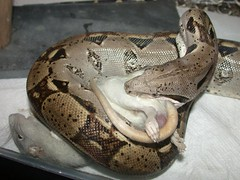 Boa constrictor, constricting