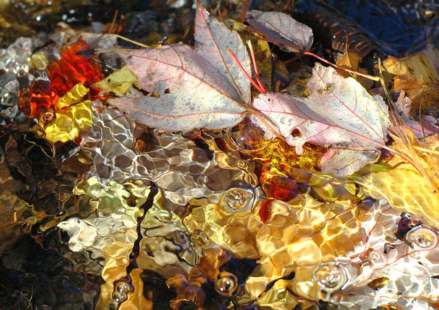 red maple leaves in brook