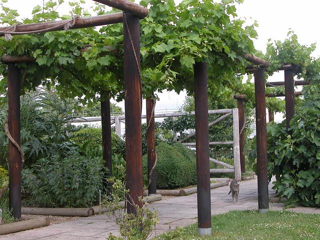 Pergola With Vines : Vine pergola at Fishbourne 2  Flickr - Photo Sharing!