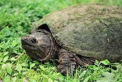 animal, turtle, reptile, green, fauna, common snapping turtle, wildlife, tortoise,
