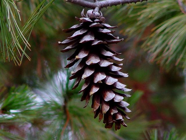 White Pine Tree Cone Flickr Photo Sharing