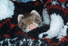weasel(0.0), polecat(0.0), animal(1.0), mustelidae(1.0), mammal(1.0), mink(1.0), ferret(1.0),