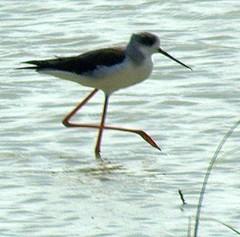 animal, fauna, stilt, shorebird, beak, bird,