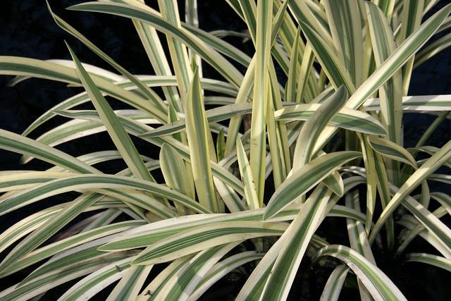 Glyceria maxima variegata
