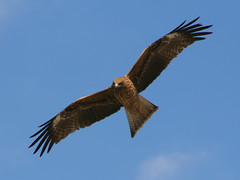 harrier, animal, hawk, bird of prey, eagle, wing, vulture, fauna, buzzard, accipitriformes, kite, beak, bird, flight,