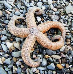Hoonah Starfish