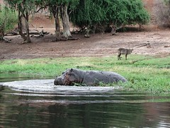 hippo & impala