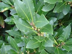 deciduous(0.0), shrub(0.0), produce(0.0), coccoloba uvifera(0.0), honeysuckle(1.0), evergreen(1.0), flower(1.0), leaf(1.0), tree(1.0), plant(1.0), flora(1.0), aquifoliaceae(1.0), bay laurel(1.0), aquifoliales(1.0),