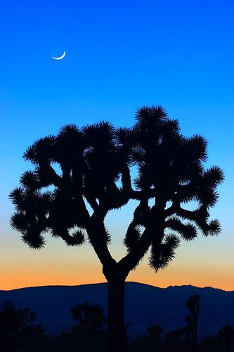 california ca usa losangeles interestingness desert joshuatree top20moonshots 500views top20 joshuatreenationalpark desertplant jungpangwu oliverwu oliverjpwu flickrexplore 10favs 20favs 30favs interestingness100 explored mojaveandcoloradodesertbiospherereserve flickrexploretop100 40favs olvwu jungpang 莫方 吳榮邦