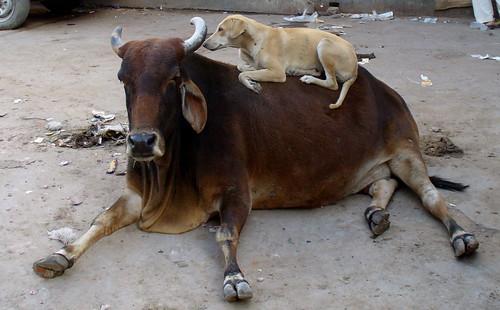 cow & dog