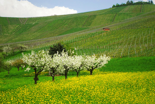 Flowering in front of the Vineyard