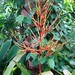 Small photo of Aechmea blanchetiana