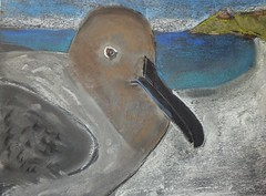 Mr Hunt, Save Our Seas: Day 5 - Sooty Albatross
