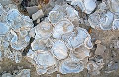 Pseudoperna congesta fossil osyters encrusting a Platyceramus platinus inoceramid bivalve shell (Smoky Hill Chalk Member, Niobrara Formation, Upper Cretaceous; Castle Rock chalk badlands, south of Quinter, Kansas, USA) 5