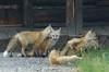 Red Fox Kits (Vulpes vulpes) DDZ_7286 by NDomer73