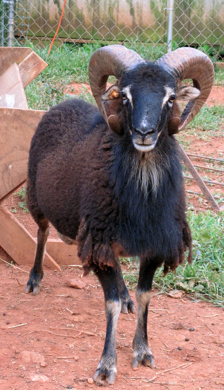 Ferrington. A dark brown ram with almost black chest and head and pale tan patches around his eyes. His horns wrap about 270 degrees around from their starting point and come in close to his jaw.